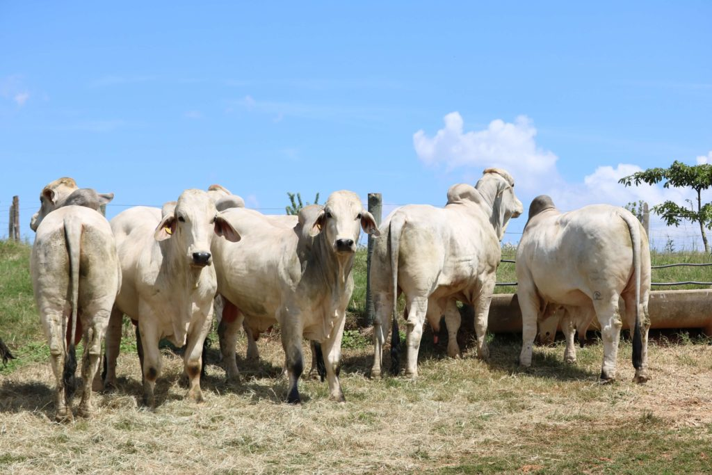 Brahman beef cattle.  Photo: Casa Branca Agropastoril.
