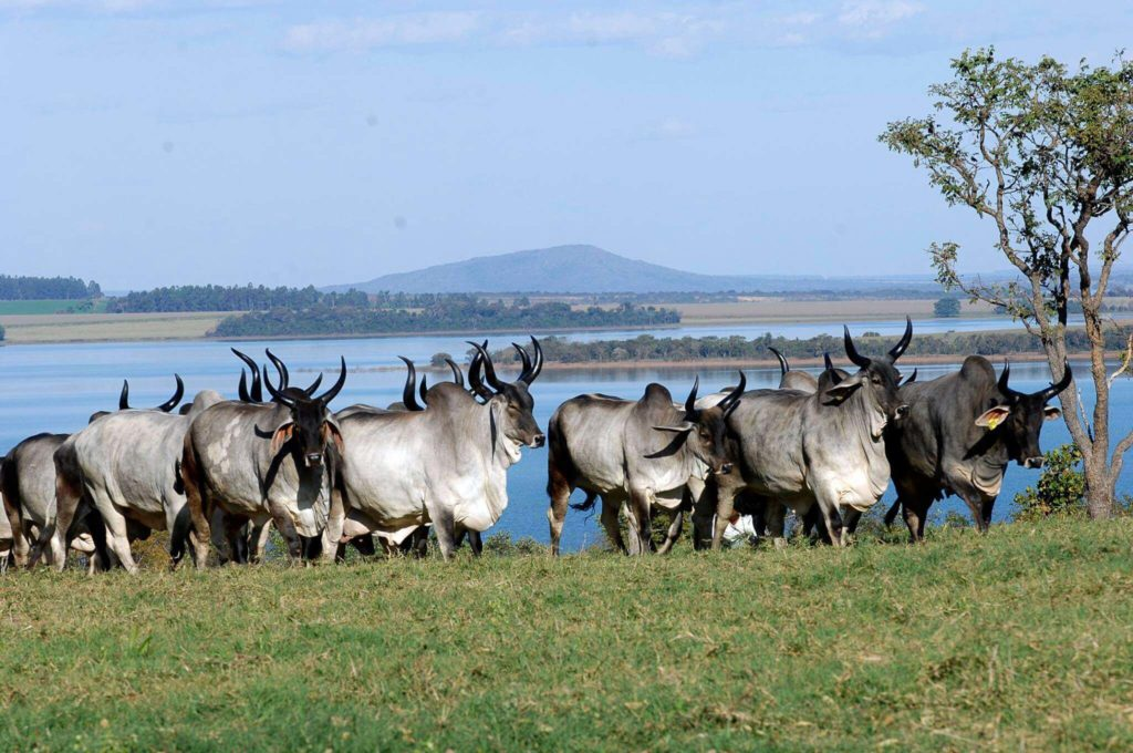 Sistema extensivo de produção gado de corte.