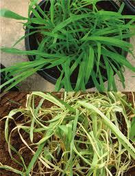 Figura 6: Planta de braquiária sem e com infestação de Deois flavopicta. Fonte: Ivan Cruz/EMBRAPA.
