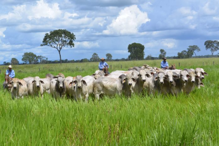 Breeds beef cattle.  Photo: José Maria Matos.