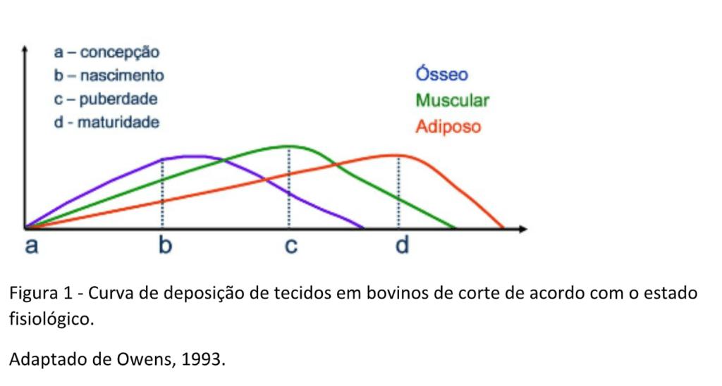 Gráfico da curva de deposição de tecidos em bovinos de corte de acordo com o estado fisiológico.