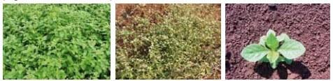 Figura 2 - Planta Apaga fogo. Fonte: Manual de Identificação e Manejo de Plantas Daninhas.
