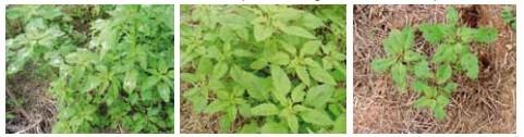 Figura 3 - Planta Caruru. Fonte: Manual de Identificação e Manejo de Plantas Daninhas.