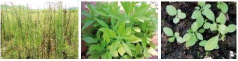 Figura 4 - Planta Buva. Fonte: Manual de Identificação e Manejo de Plantas Daninhas.