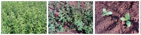 Figura 7 - Planta Guanxuma. Fonte: Manual de Identificação e Manejo de Plantas Daninhas.
