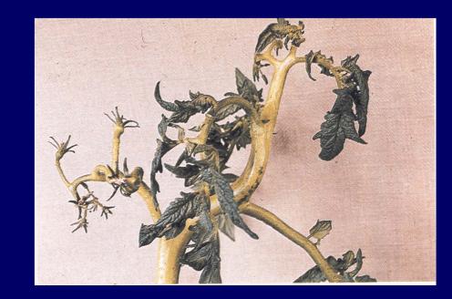 Ação de herbicidas mimetizadores da auxina em plantas daninhas.