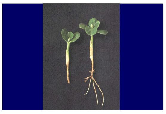 Ação dos herbicidas inibidores da divisão celular.