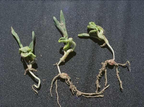 Ação dos herbicidas inibidores de crescimento.