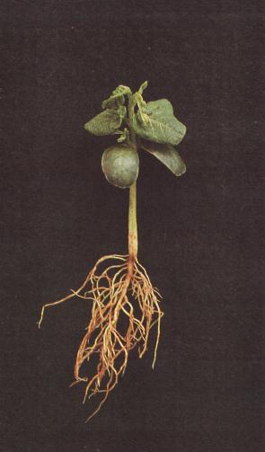 Ação dos herbicidas tiocarbamatos.