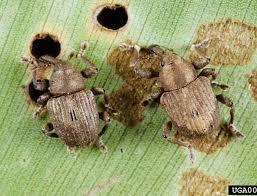 Figura 3 - Adultos de Neochetina eichhorniae (esquerda) e N. bruchi (direita). Percevejos usados no controle do Aguapé. Foto: Willey Durden, USDA-ARS, Bugwood. org.