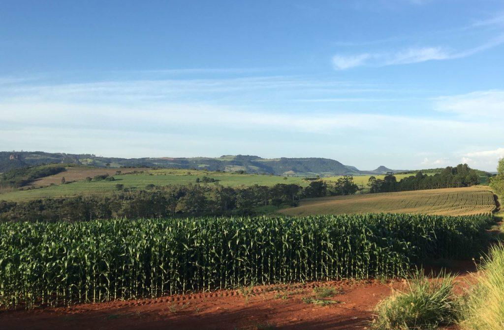 Plantação de Milho na Fazenda Santa Elisa.