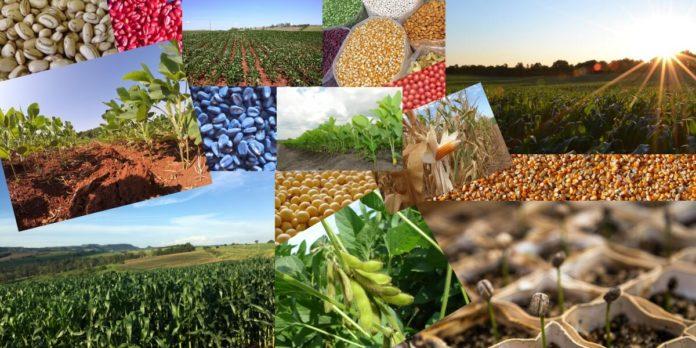 Sementes, sementes tratadas, sementes germinando, plantações de milho, soja e feijão.