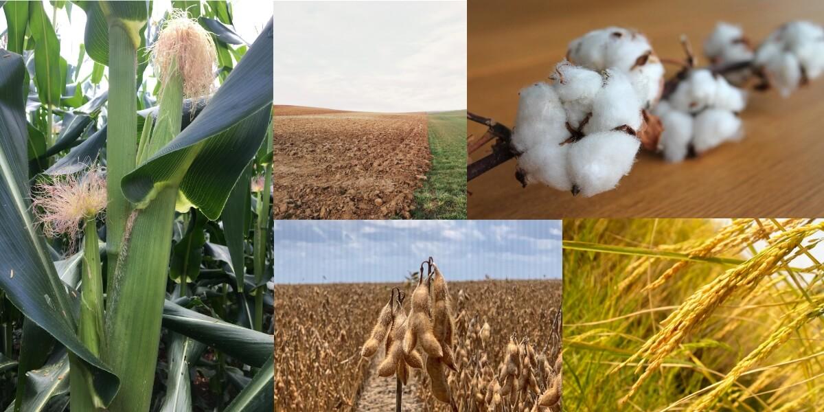 Milho, pousio, algodão, arroz e soja. Montagem: Agromove.