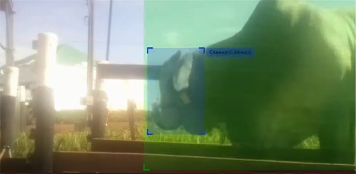 A Inteligência Artificial pode estimar o peso do animal através de câmeras e algoritmos.