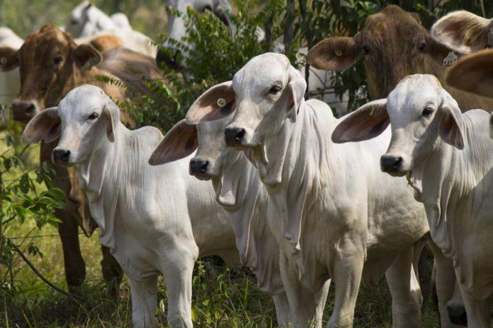 Photo: Calves