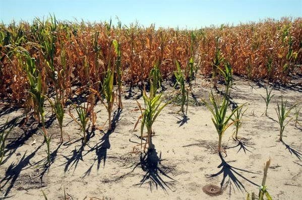 Figura 2 - Safra de milho argentina sob o efeito do fenômeno climático La Niña. Fonte: ANCA24.