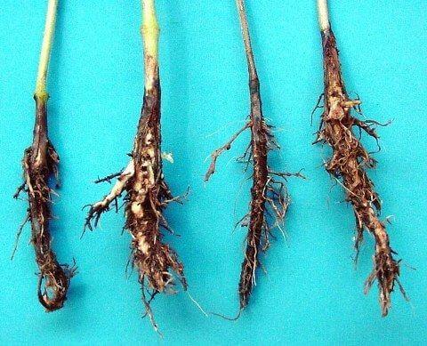 Figura 13 - Podridão vermelha da raiz. Fonte: Agrolink.