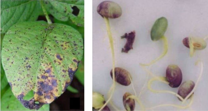 Figura 6 - Crestamento foliar e mancha púrpura da semente.  Fonte: EMBRAPA.