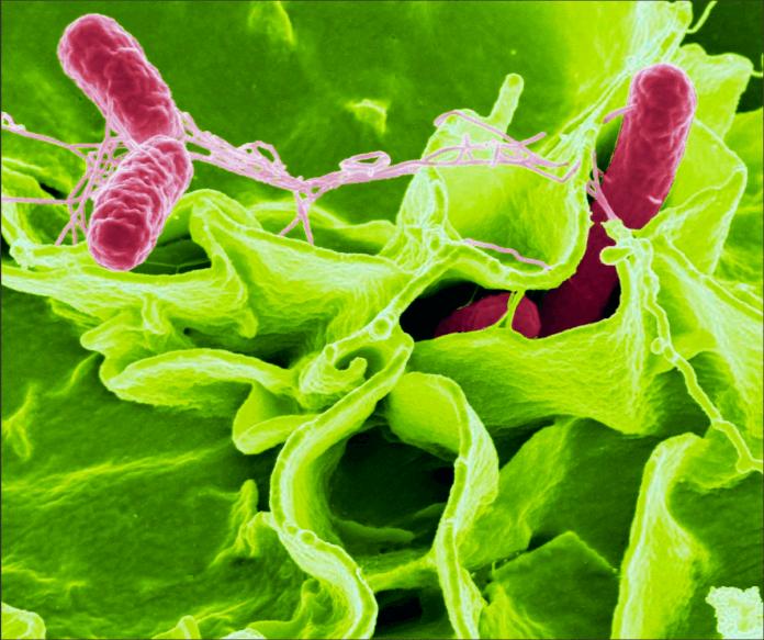 Bactérias em simbiose com tecidos de uma planta hospedeira, representando o uso de bioinoculantes.
