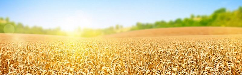 Campo de trigo bem desenvolvido. Representa o resultado alcançado por Norman e sua pesquisa.