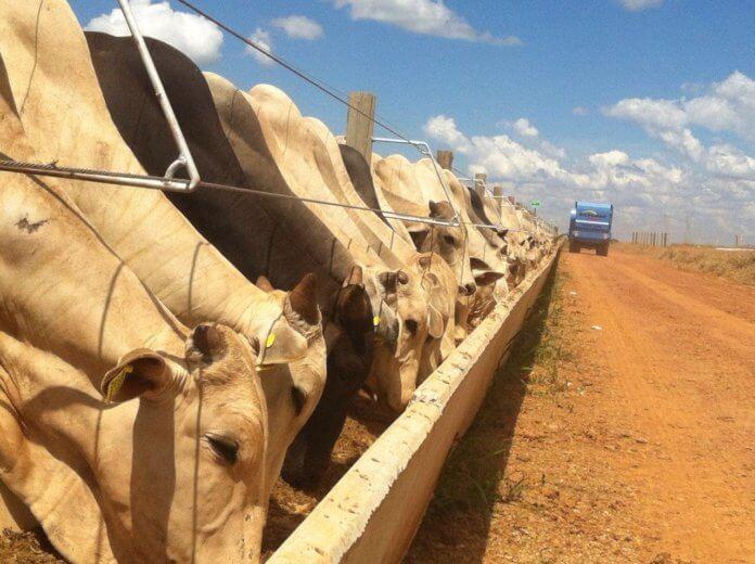 Oxen in confinement