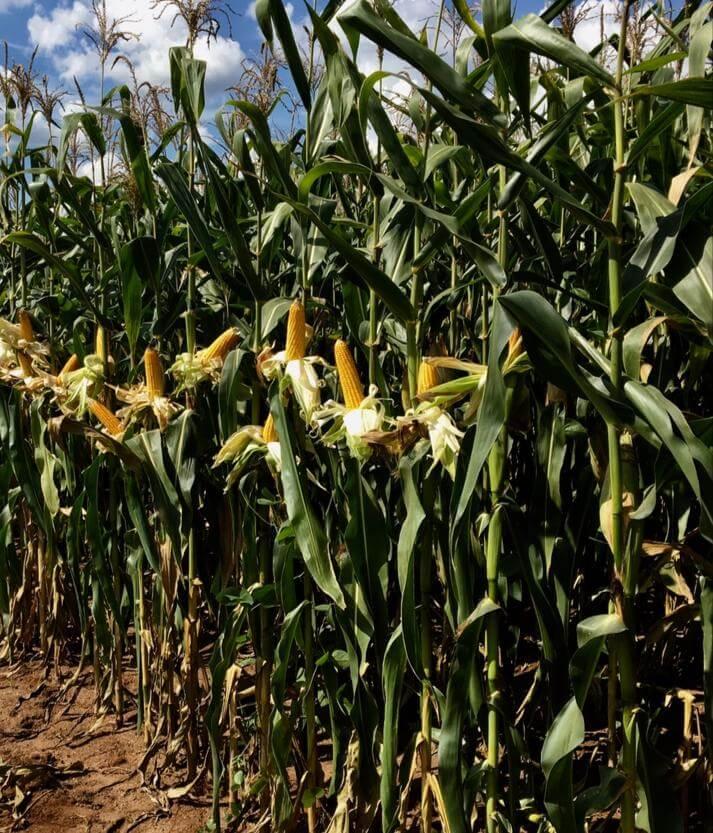 Milho para silagem. Foto: Fazenda Santa Elisa.