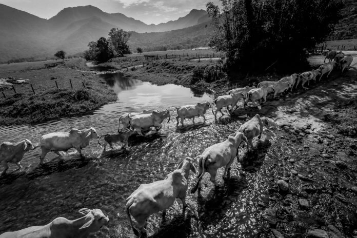 Raca Brahman Foto: Carlos Lopes.
