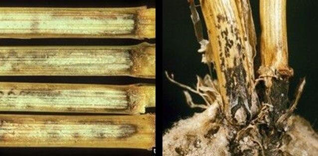 Figura 14 - Colletotrichum graminicola. Fonte: Agrolink.