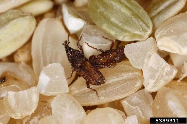 Figura 2 - Inseto praga de pós-colheita de grãos: Gorgulhos dos cereais. Fonte: Agrolink.