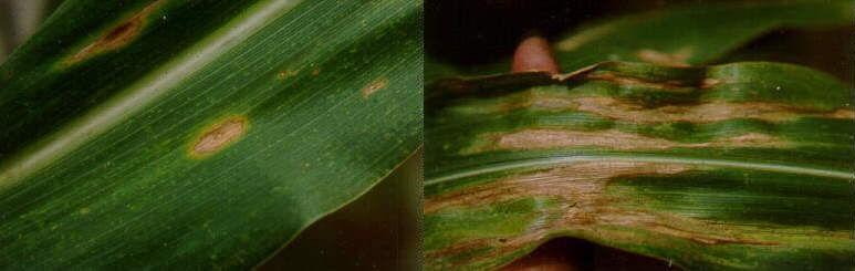 Figura 8 - Mancha foliar de Diplodia. Fonte: EMBRAPA. Foto: Carlos Roberto Casela.