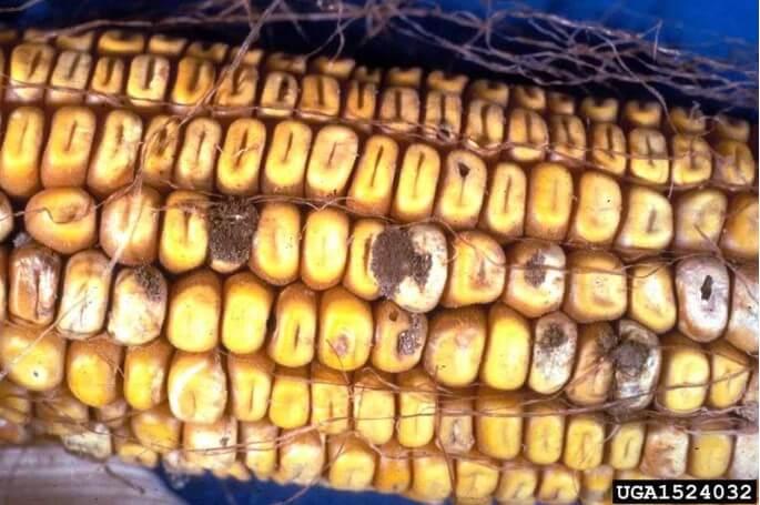 Figura 7 - Podridão de pós-colheita causada por Aspergillus em espiga de milho. Fonte: Pestnet.