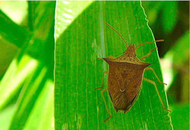 Figura 2. O percevejo barriga-verde (Dichelops furcatus) é uma praga polífaga que deve ser cuidadosamente monitorada antes do plantio do milho safrinha.  Fonte: Manual de Pragas do Milho (Fig. 13.4).