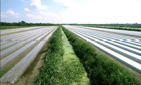Figura 5. Processo de solarização em campo. Fonte: José Otavio Menten.