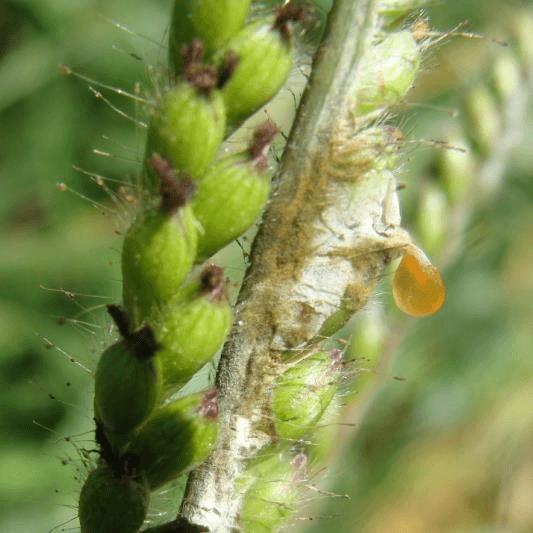 Figura 3. Mela-das-sementes: mela em Brachiaria brizantha cv. Xaraé. Fonte: Embrapa.