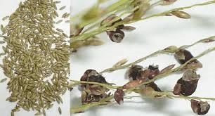 Figura 7. Sementes e panículas de Panicum maximum. Fonte: Embrapa