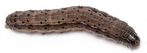 Figura 8. Lagarta-do-cartucho. Fonte: http://www.sites.encode.com.br/eou-mrm/rrplus/busca-pragas/lagarta-do-cartucho-do-milho-spodoptera-frugiperda/