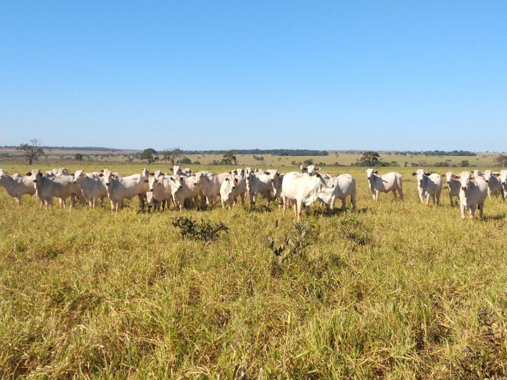 Intensificação da fazenda Foto: Fazenda Florida. Cassilândia - MS.