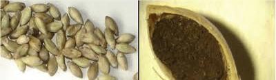 Figura 4. Carvão em sementes de Brachiaria brizantha. Fonte: Embrapa