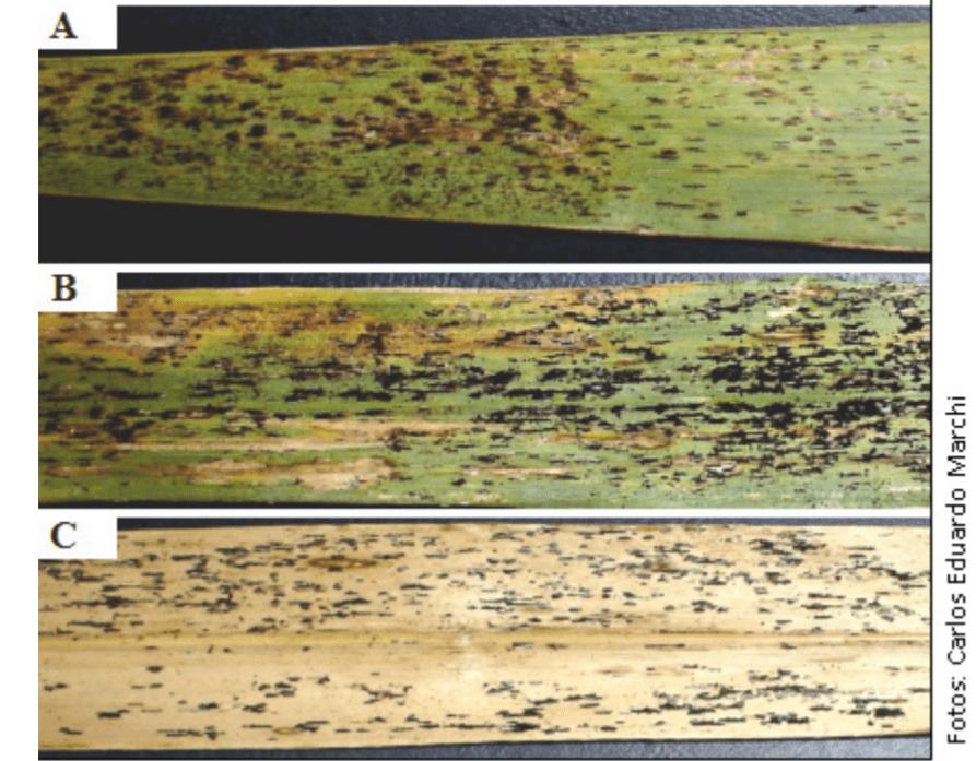 Figura 5. Ferrugem da braquiária em folhas de Brachiaria brizantha. Fonte: Embrapa