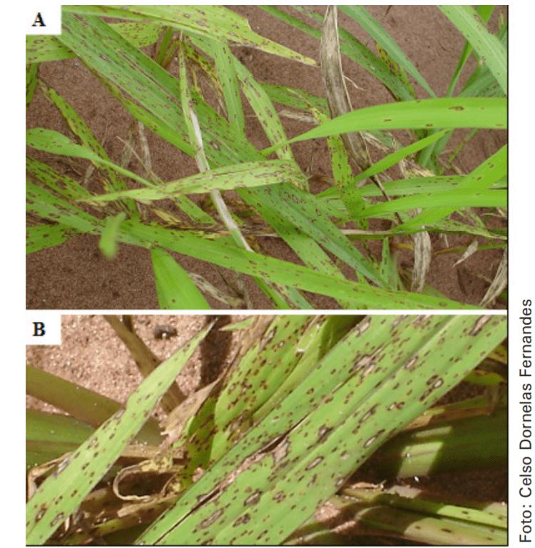 Figura 6. Mancha foliar de Bipolaris maydis em Panicum maximum. Fonte: Embrapa
