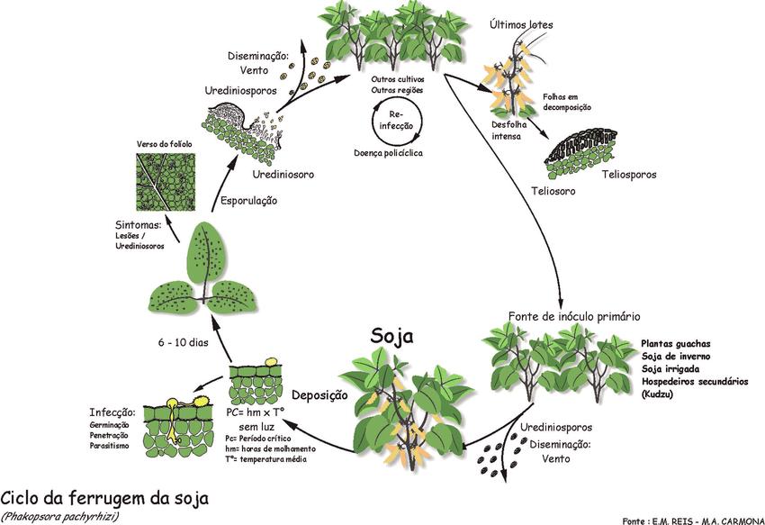 Ciclo da Ferrugem da Soja. Fonte: Reis e Carmona em ResearchGate