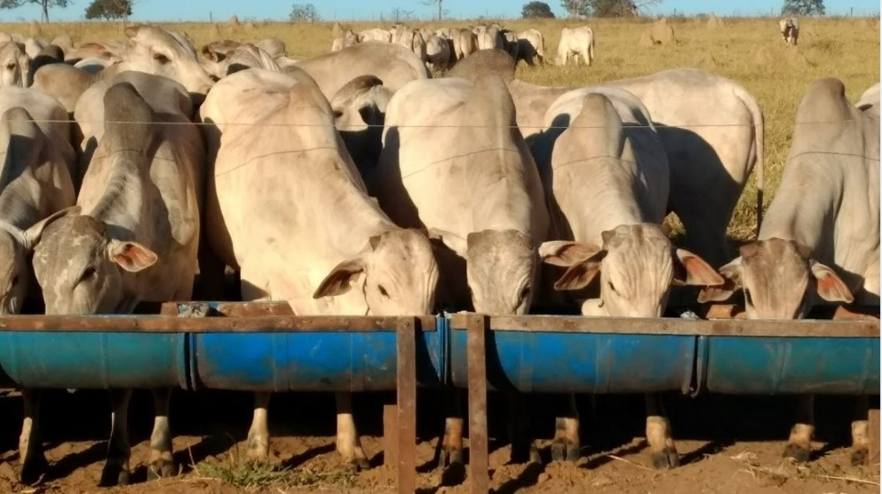 Animais se alimentando de ração. Fonte: Rogério Domingues.