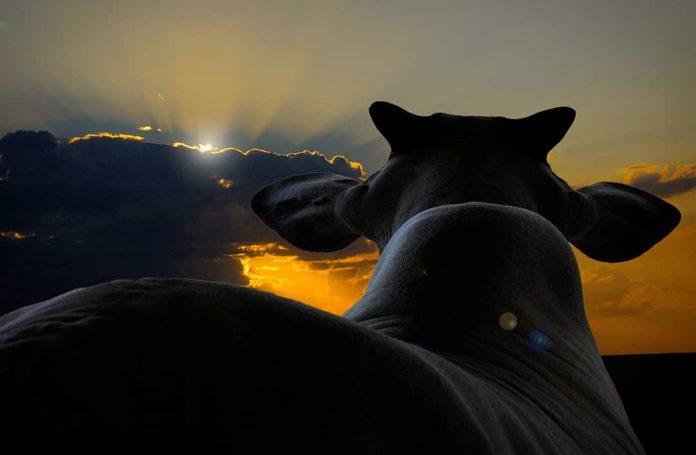 Pôr do Sol com boi