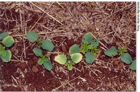 Imagem 10 - Deficiência de Cobalto.  Fonte: Embrapa.