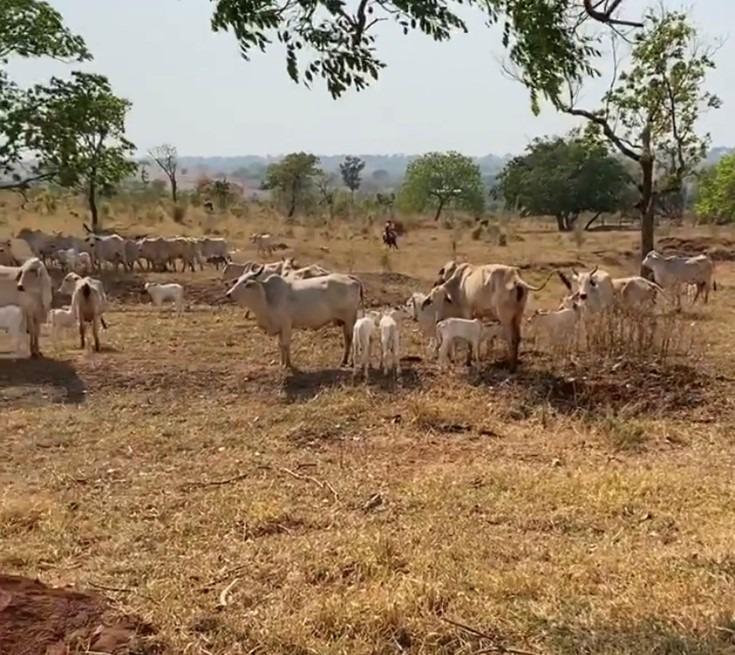 Figura 1. Grupo de vacas com seus bezerros. Fonte: Fazenda Cachoeiral.