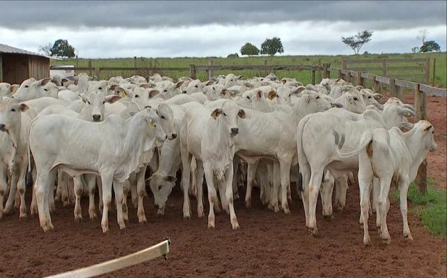 Figura 3. Lote de animais desmamados. Fonte: Fazenda Cachoeiral.