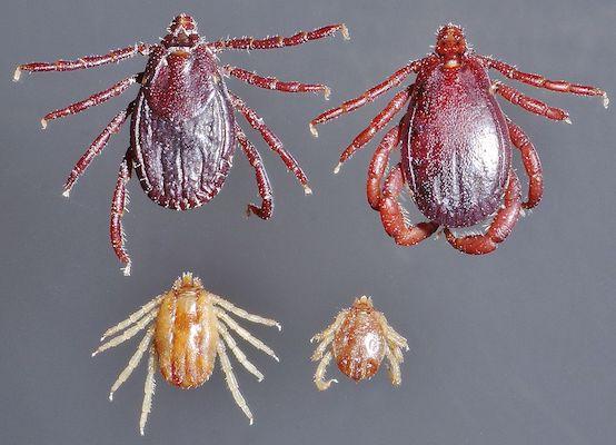 Carrapato Rhipicephalus (Boophilus) microplus. Foto: Saense.