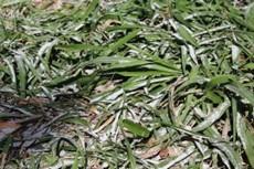 Figura 1: Calagem aplicada em pasto roçado.