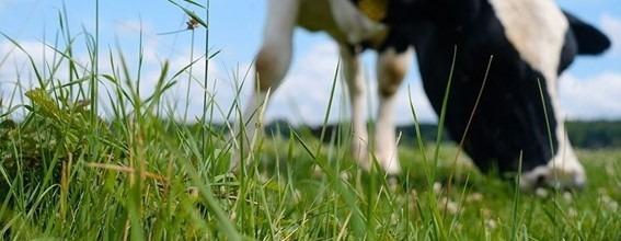 Vaca pastejando. Fonte: EducaPoint.