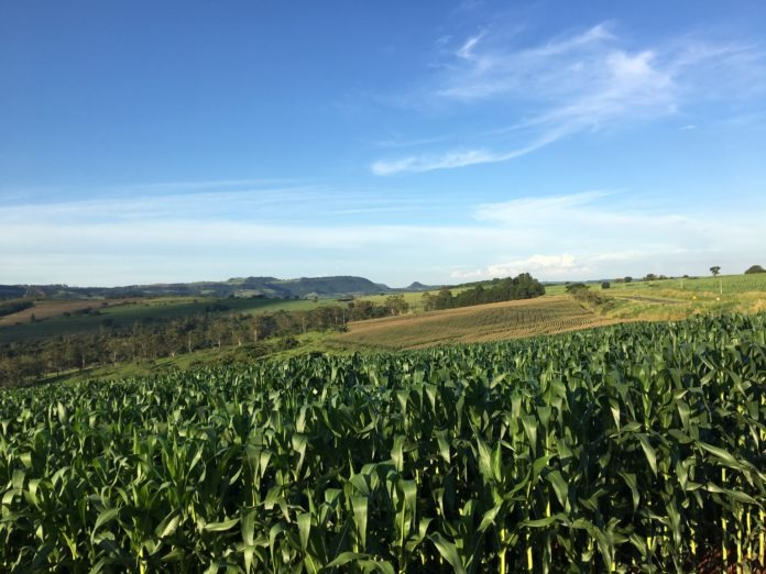 Plantação de milho. Foto: Fazenda Santa Elisa.
